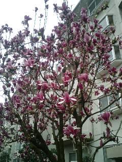 桜も木蓮も
