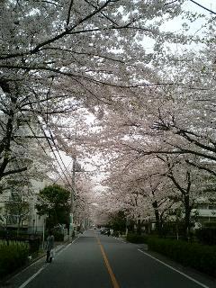 日本一の桜のトンネル