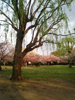 八重桜と紫木蓮