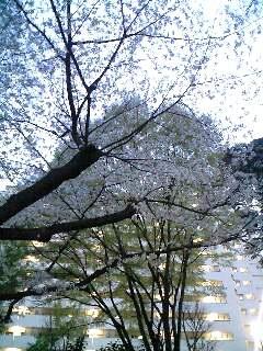 戸山公園の桜