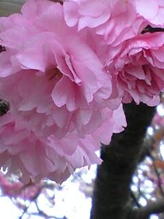 八重桜の咲く公園で