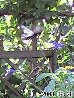 今日の我が家の庭です。大きな黒い蝶がきたので苦労して撮りました。