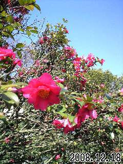 亀戸中央公園の山茶花