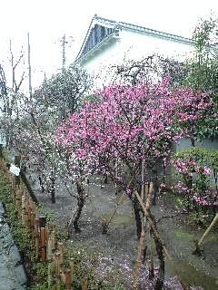 亀戸天神の梅