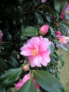 立春の山茶花(俳句)