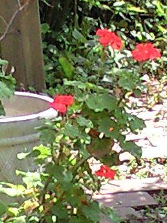 バイカウズキとシャクヤクが咲きました