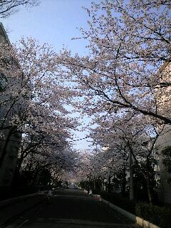 朝の桜と木蓮